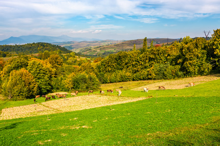 great autumnal rural area in mountains. Cows grazing on rural fields near the forest with colorful foliage Stock Photo