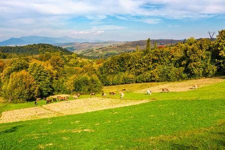 Große herbstliche ländliche Gegend in den Bergen. Kühe, die auf ländlichen Gebieten in der Nähe des Waldes mit buntem Laub weiden Standard-Bild - 84193898