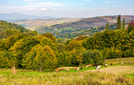 Cows grazing on rural fields near the forest with colorful foliage. great autumnal weather in countryside Stock Photo