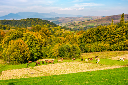 great autumnal countryside in mountains. Cows grazing on rural fields near the forest with colorful foliage