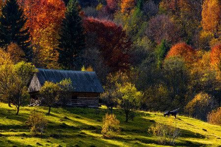 cow grazing near abandoned woodshed in autumn forest. beautiful rural scenery on sunny sunset Stock Photo