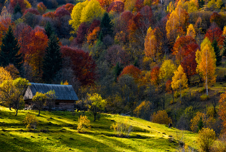 cow grazing on a meadow near abandoned wooden house in autumn forest. beautiful rural scenery on sunny sunset