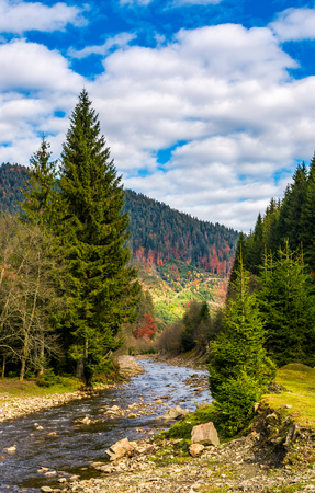 autumnal landscape with narrow river in spruce forest. beautiful nature scenery mountainous area under blue sky with clouds