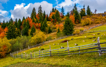 beautiful deep autumn countryside scene. goats behind the wooden fence. Gorgeous landscape with dramatic sky over forest