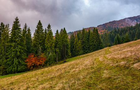 weathered grassy meadow among the spruce forest on cloudy autumn day. gorgeous weather in colorful environment Stock Photo