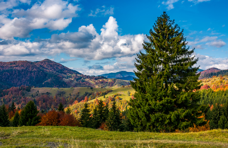 magnificent mountainous landscape in autumn. big spruce tree in front of mixed forest with red foliage. great sunny weather with gorgeous clouds on a blue sky