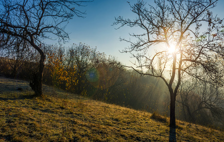 apple orchard on hillside at autumn sunrise. naked trees on frosted grass early in the morning. lovely rural scenery in foggy weather