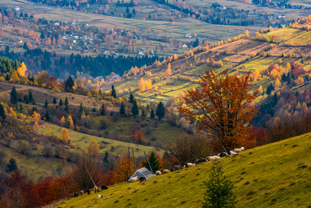 herd of sheep on hillside meadow in autumn. beautiful rural scenery with village in a distance viewed from top of a hill