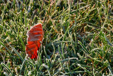 서 리 낀된 녹색 잔디에 지상에 붉은 잎. 아름다운 단풍의 배경