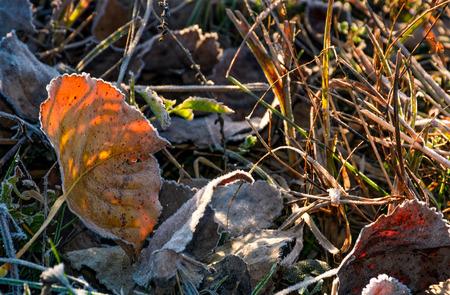 붉은 땅은 서리 낀 잔디에서 땅에 떨어졌습니다. 아름다운 단풍의 배경