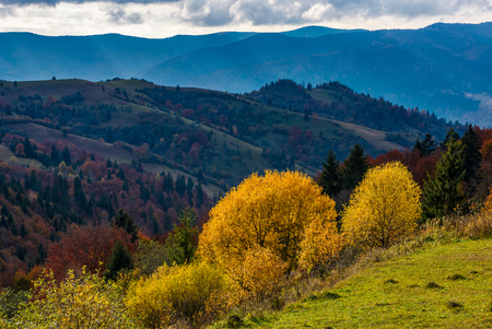 yellow trees on the edge of a hillside. clouds over the mountain ridge and hills with forest in autumn