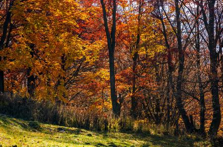森の晴れた日の美しい金色の紅葉。ラブリー紅葉の背景