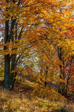 포리스트의 화창한 날에 아름 다운 황금 단풍. 사랑스러운 단풍 배경