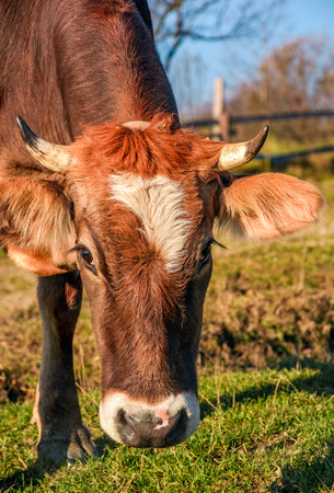 Portrait of rufous cow in autumnal morning light. lovely everyday episode of rural life Stock Photo