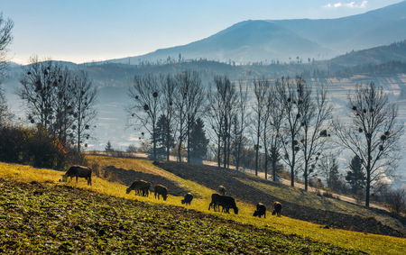 cow grazing on hillside in autumnal countryside. lovely agricultural scenery in Carpathian mountainous rural area Stock Photo