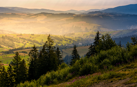spruce forest on hills at foggy sunrise. gorgeous mountainous countryside landscape in summer. view ftom high altitude Stock Photo