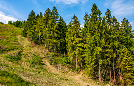 path through spruce forest on hillside. lovely summer landscape Stock Photo
