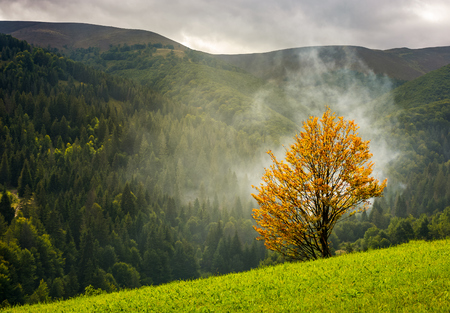 tree with yellow foliage in foggy mountains. beautiful autumnal scenery with spruce forest on hillside