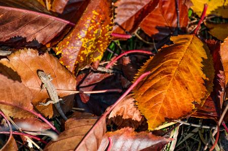 가 [NULL]에 타락 한 갈색 단풍에 도마뱀입니다. 사랑스러운 자연 배경입니다. 위에서 본