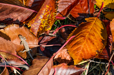 lizard in fallen brown foliage in autumn. lovely nature background. view from above Reklamní fotografie - 86179947