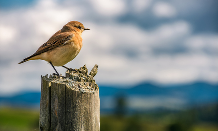curious sparrow sit on on a wooden fence looks in to mountains blurred far in a distance. cute little bird in natural environment