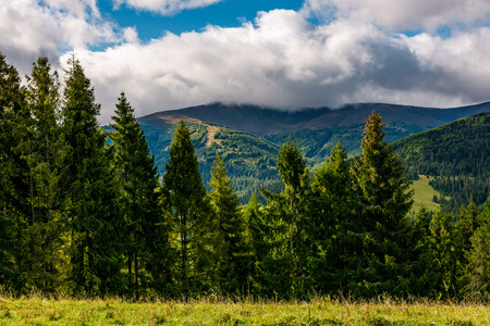 spruce trees on hillside edge on cloudy day. gorgeous weather in Carpathian mountains in autumn
