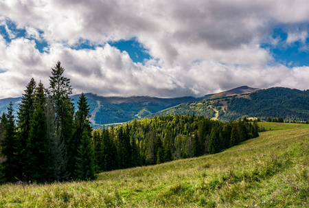 spruce forest on hillside on cloudy day. gorgeous weather in Carpathian mountains in autumn Stock Photo