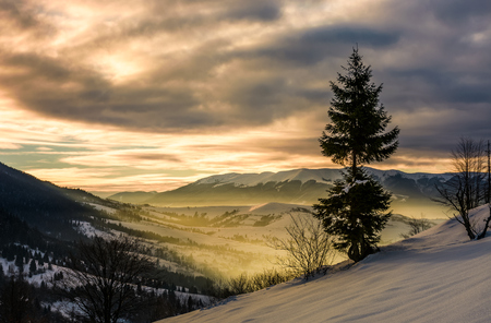 lonely spruce tree on hillside at sunrise. gorgeous winter countryside scenery view from the hill to sunny valley
