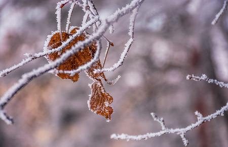 verweerde bruin blad op een bevroren tak. prachtige natuur achtergrond in de winter Stockfoto