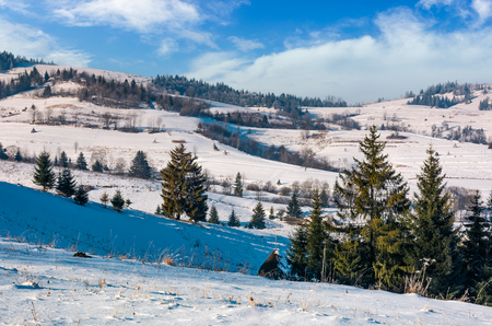 spruce trees on rural hillside in winter. beautiful scenery in mountainous countryside Stock Photo