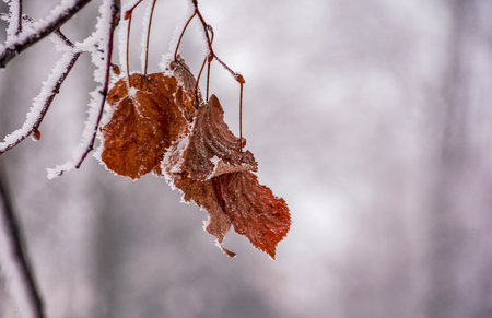 weathered brown foliage on a frozen branch. beautiful nature background in winter Banco de Imagens