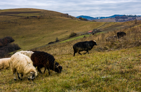 herd of sheep on hillside in rural area. lovely mountainous countryside scene in late autumn Stock Photo
