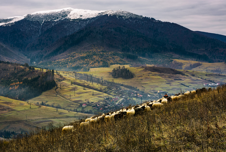 herd of sheep on hillside in rural area. lovely mountainous countryside scene with snowy peak in late autumn Stock Photo