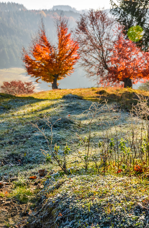 tree with red leaves on hillside blurred background with frozen grass in front. beautiful scenery on hazy autumnal morning in countryside