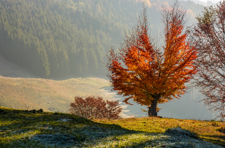 tree with red leaves on hillside with spruce forest in a distance. beautiful scenery on hazy autumnal morning in countryside