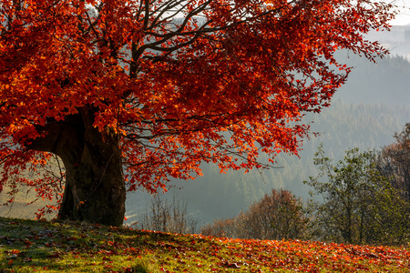 芝生の草原の落ち葉で丘の中腹に赤い葉のある木。ぼんやりとした秋の朝の田園地帯の美しい風景
