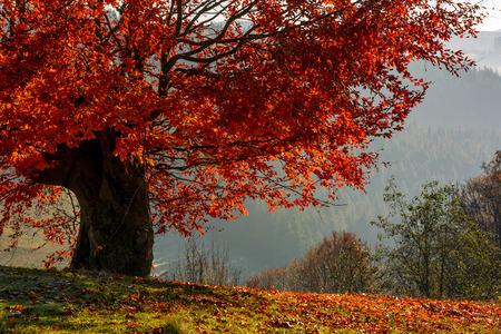 Baum mit roten Blättern am Hang mit gefallenen Blättern auf der Wiese. schöne landschaft am dunstigen herbstlichen morgen in landschaft Standard-Bild - 86938337