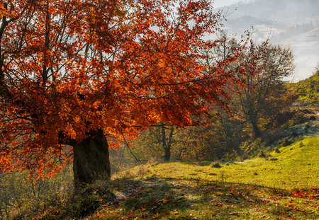 tree with red leaves on hillside with fallen leaves on grassy meadow. beautiful scenery on hazy autumnal morning in countryside Stock fotó