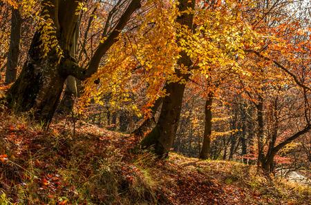 美しい暖かい晴れた日に茶色の葉が黄金の森