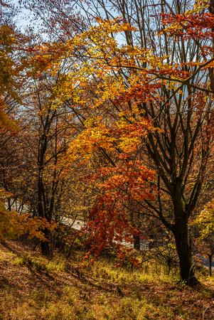 아름다운 따뜻한 날씨와 화창한 날에 황금 갈색 단풍에 숲 스톡 콘텐츠