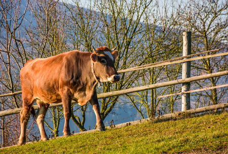 rufous cow near the fence on hillside. lovely rural scenery