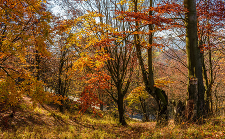 forest in golden brown foliage on sunny day with beautiful warm weather