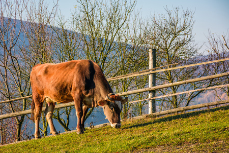 rufous cow grazing near the fence on hillside. lovely rural scenery Stock Photo