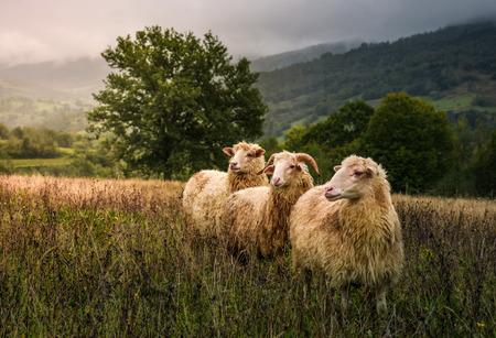 owce pasące się we mgle w pobliżu starego dębu. piękna sceneria w deszczowy jesienny dzień w górzystym obszarze wiejskim. trzy zaciekawione mokre zwierzęta stoją w zwietrzałej trawie i patrzą gdzieś w oddali