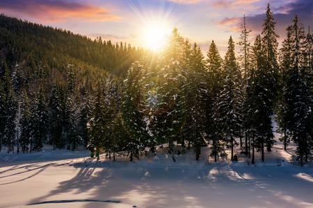 sunset in winter spruce forest. beautiful scenery with reddish sky Imagens