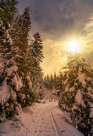 path through spruce forest in winter. beautiful nature scenery with snowy trees at sunset