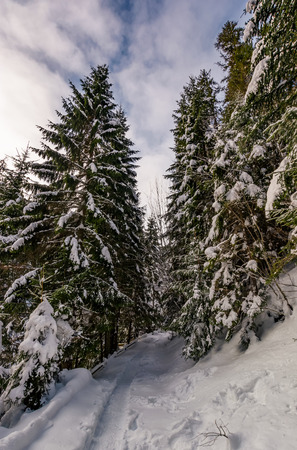 path through spruce forest in winter. beautiful nature scenery with snowy trees in early morning Stock Photo