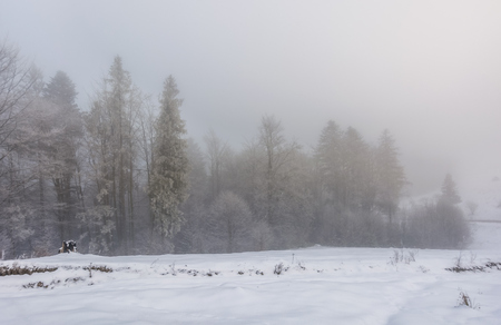 foggy weather in winter forest scenery. beautiful nature background with trees in hoarfrost in snowy meadow and overcast sky Stock Photo