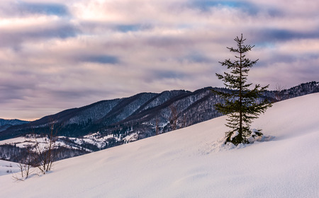 lonely spruce tree on snow covered slope. lovely mountainous countryside scenery in winter