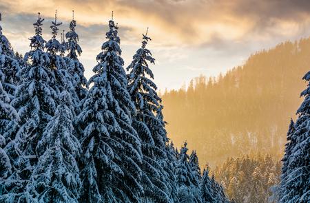 화려한 일몰에 눈 덮인 가문비 나무 숲. 겨울의 아름다운 자연 경관 스톡 콘텐츠